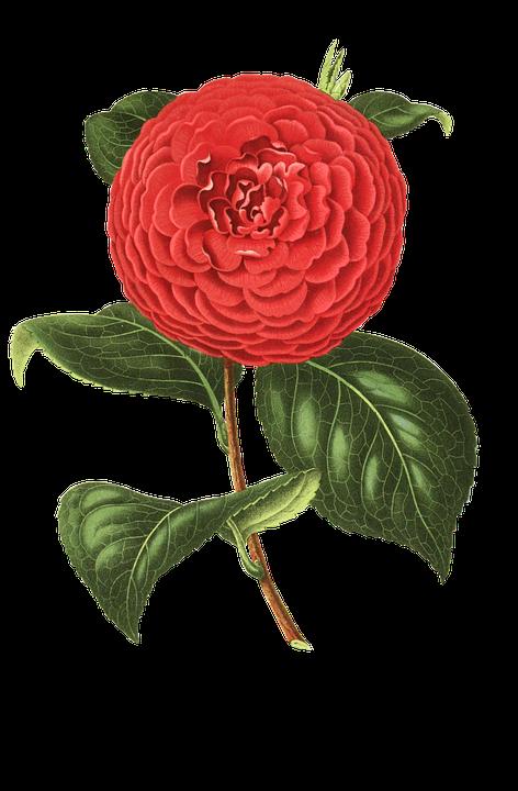 camellia-1698963_960_720